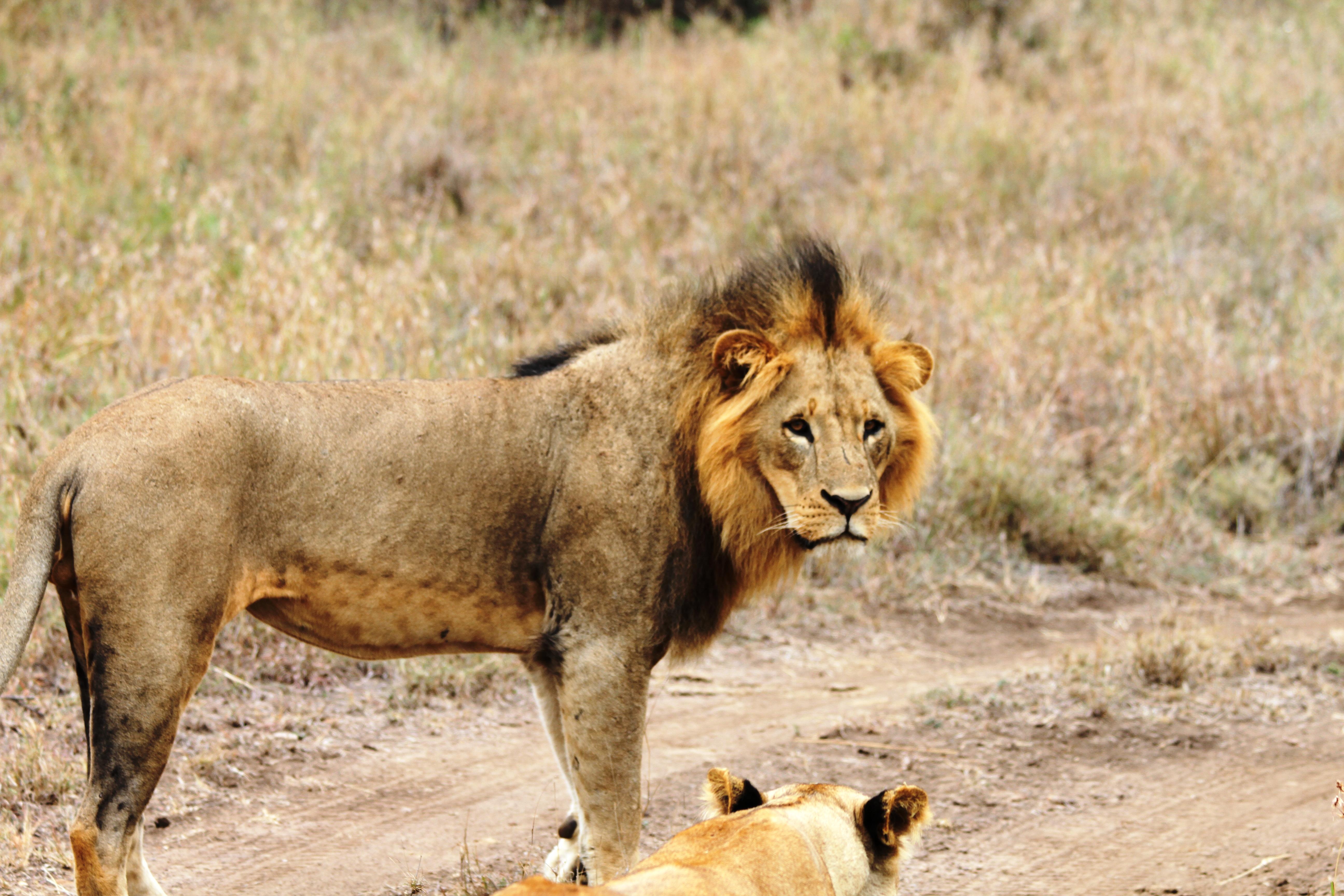 lion_kenya_copyrighted_2012_all_rights_reserved_photo_call_lucas_ferrara_nyreblog_com_.jpg
